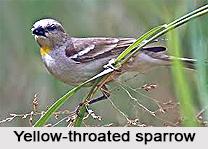 Yellow-Throated Sparrow, Indian Bird