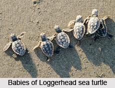 Loggerhead Sea Turtle, Marine Species