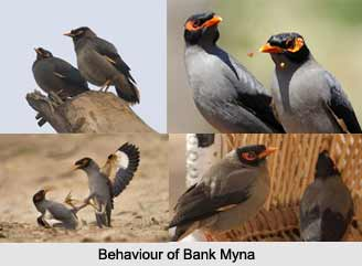 Bank Myna, Indian Bird