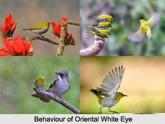 Oriental White-Eye, Indian Bird