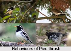 Pied Thrush, Indian Bird