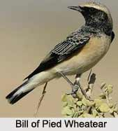 Pied Wheatear, Indian Bird