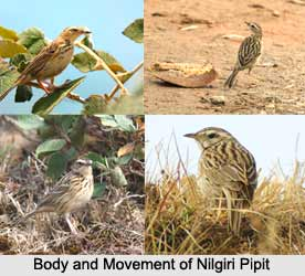 Nilgiri Pipit, Indian Bird