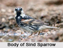 Sind Sparrow, Indian Bird