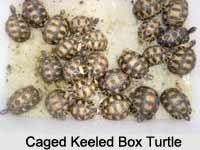 Keeled Box Turtle, Indian Reptile