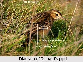 Richard's Pipit, Indian Bird