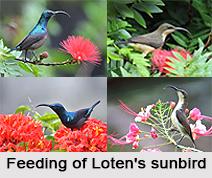 Loten's Sunbird, Indian Bird