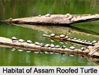 Assam Roofed Turtle, Indian Reptile