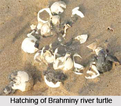 Brahminy River Turtle, Indian Reptile