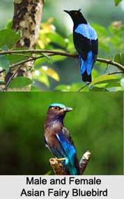 Asian Fairy-Bluebird, Indian Bird