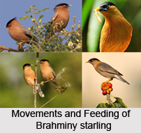 Brahminy Starling, Indian Bird