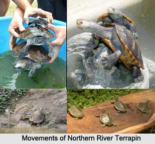 Northern River Terrapin, Indian Reptile