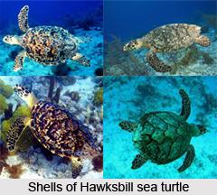 Hawksbill Sea Turtle, Marine Species