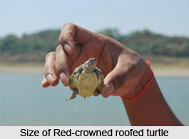 Red-Crowned Roofed Turtle, Indian Reptile