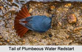 Plumbeous Water Redstart, Indian Bird
