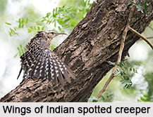 Indian Spotted Creeper, Indian Bird