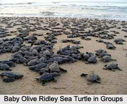 Olive Ridley Sea Turtle, Indian Marine Species