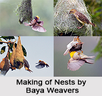 Baya Weaver, Indian Bird