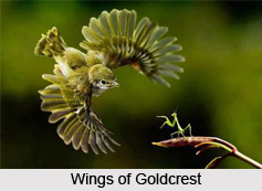 Goldcrest, Indian Bird