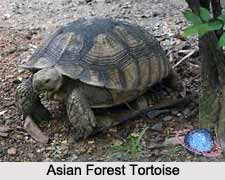 Asian Forest Tortoise, Indian Reptile