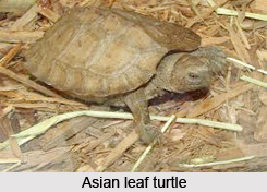 Asian Leaf Turtle, Indian Reptile