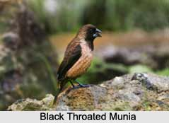 Black-Throated Munia, Indian Bird