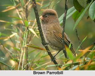 Brown Parrotbill, Indian Bird