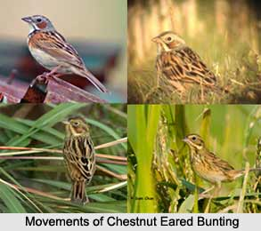 Chestnut-Eared Bunting, Indian Bird