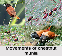 Chestnut Munia, Indian Bird