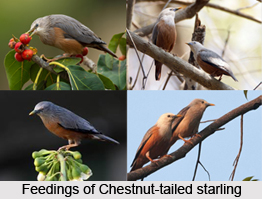 Chestnut-Tailed Starling, Indian Bird