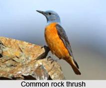 Common Rock Thrush, Indian Bird