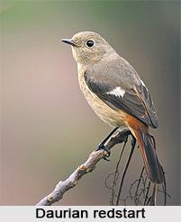 Daurian Redstart, Indian Bird