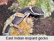 East Indian Leopard Gecko, Indian Reptile