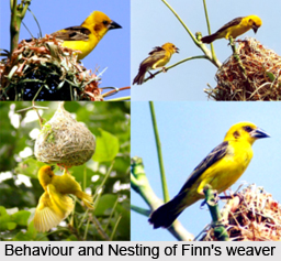 Finn's Weaver, Indian Bird