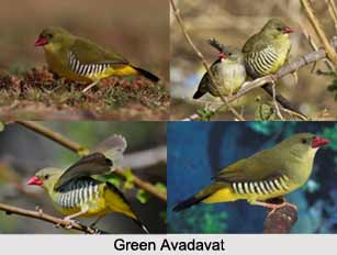 Green Avadavat, Indian Bird
