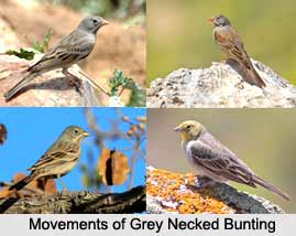 Grey-Necked Bunting, Indian Bird