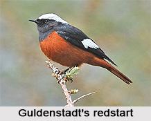 Güldenstädt's Redstart, Indian Bird