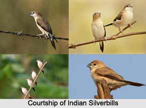 Indian Silverbill, Indian Bird