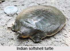 Indian Softshell Turtle, Indian Reptile