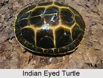 Indian Eyed Turtle, Indian Reptile
