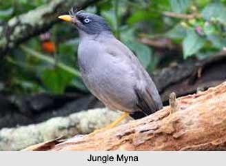Jungle Myna, Indian Bird
