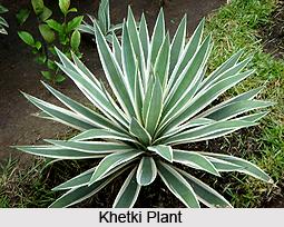 Khetki, Indian Medicinal Plants