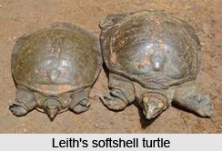 Leith's Softshell Turtle, Indian Reptile