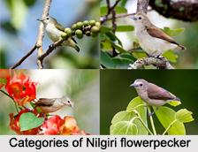Nilgiri Flowerpecker, Indian Bird