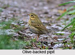 Olive-Backed Pipit, Indian Bird