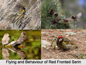 Red-Fronted Serin, Indian Bird