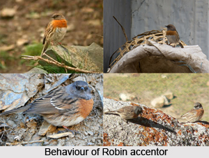 Robin Accentor, Indian Bird
