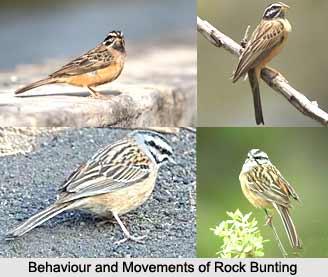 Rock Bunting, Indian Bird