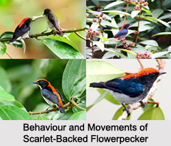 Scarlet-Backed Flowerpecker, Indian Bird