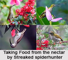 Streaked Spiderhunter, Indian Bird